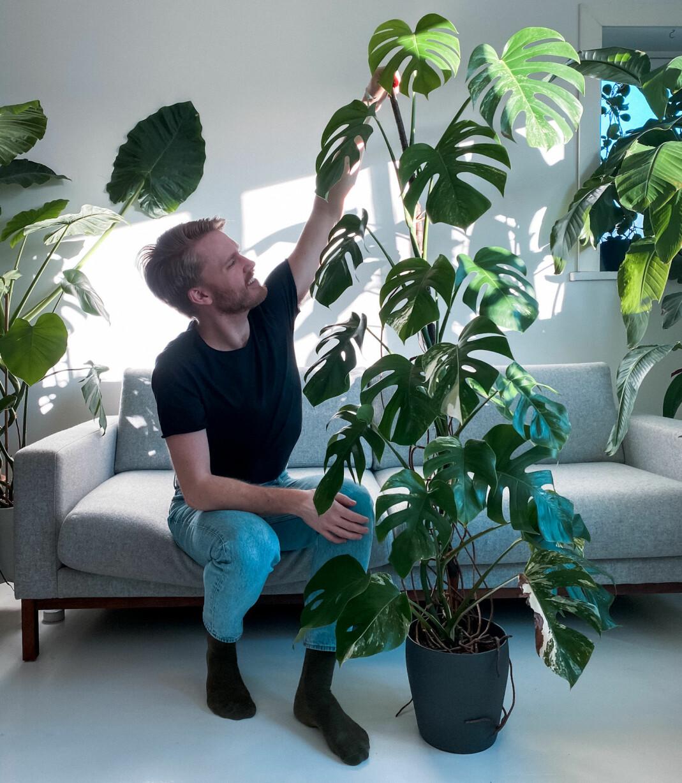 Den grønne planten Monstera (monstera deliciosa) har tatt Norge med storm. På norsk heter den Vindusblad og har sin opprinnelse i varmere strøk som Mexico. Bladenes karakteristiske hull gjør den mer motstandsdyktig mot stormer. I naturen kan den bli flere titalls meter høye. Hjemme krever den kke alt for mye stell, bare indirekte lys. Typen Monstera variegata med lyse prikker og mønster er selve hipsterplanten for tida, og stiklingene selges for skyhøye priser på blant annet Finn.no.